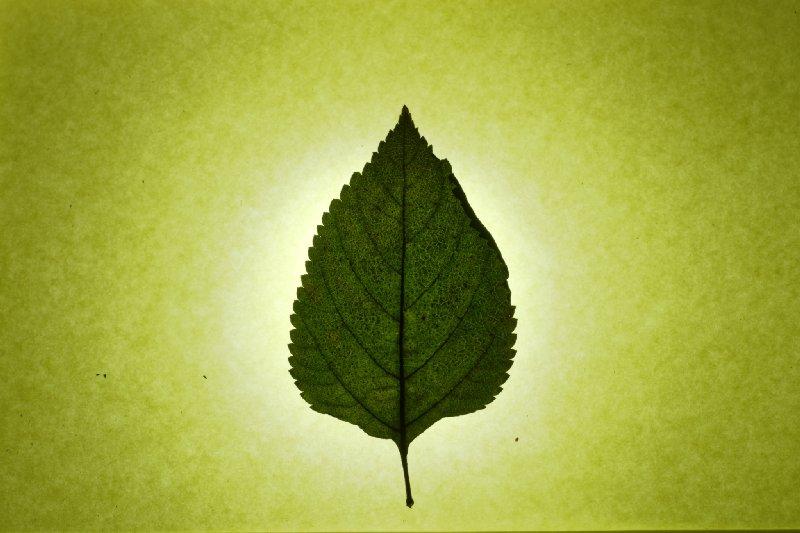 文青技能 叶子标本拍摄教程图片